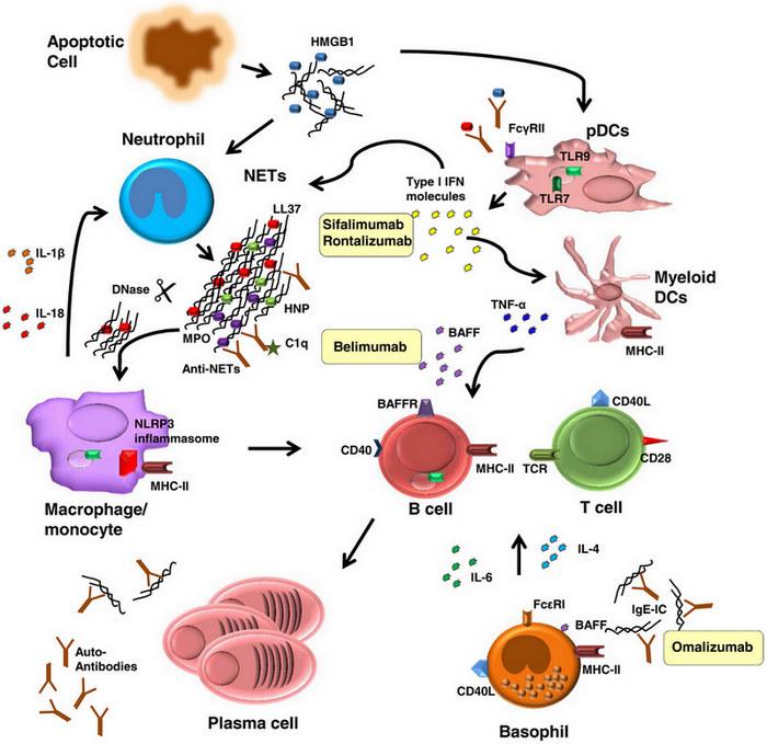 Advances In Mechanisms Of Systemic Lupus Erythematosus Barbara
