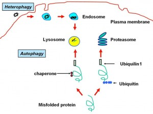 macroautophagy, microautophagy, and chaperone-mediated autophagy (CMA).