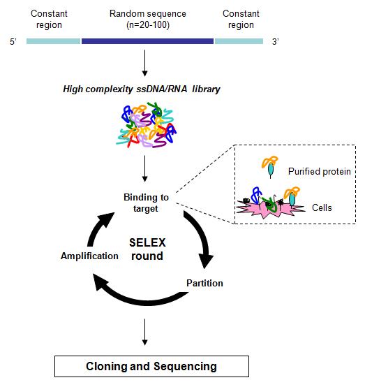 Figure 1  Schematic representation of SELEX technology  The RNA