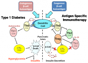 Figure 1. Basic mechanism of type 1 diabetes inflammation and vaccine action. Antigen presenting cells, specifically dendritic cells, process endogenous pancreatic beta cell autoantigens (Insulin, GAD, etc.) in lysosomal vesicles and transfer peptide fragments of the autoantigen to MHC class II molecules that migrate to the plasma membrane and present the autoantigen to cognate T cell receptors on naïve T helper cells (Th0), left portion of the Figure. At the same time, dendritic cell processing of the autoantigen stimulates biosynthesis and secretion of the inflammatory cytokine interleukin 12 (IL-12) which stimulates the Th0 cells to undergo morphogenesis into autoreactive effector T helper cells (Th1). The autoreactive Th1 cells secrete inflammatory cytokines such as IFN-gamma and IL-2 that stimulate cytotoxic lymphocytes (CTL) to secrete nitric acid, peroxide, and several other inflammatory cytokines that stimulate pancreatic islet inflammation (insulitis). Chronic insulitis results in continual pancreatic beta cell death resulting in increasing insulin deficiency and a progressive increase in blood sugar (hyperglycemia). Oral delivery of small amounts of islet autoantigens (right portion of the Figure) exerts a protective antigen specific therapeutic effect by stimulating dendritic cells to secrete the anti-inflammatory cytokine IL-10 which stimulates naïve cognate Th0 lymphocytes to undergo morphogenesis into anti-inflammatory CD4+ Th2 helper cells that in turn secrete IL-10 which suppresses further development of autoreactive Th1 cells and decreases potential insulitis onset. Alternatively, naive Th0 cells may develop into one of several subclasses of regulatory T cells (Treg), which can block dendritic cell activation, Th2, Th1, and CTL development leading to prevention of insulitis, continued insulin secretion, and maintenance of immunological homeostasis.