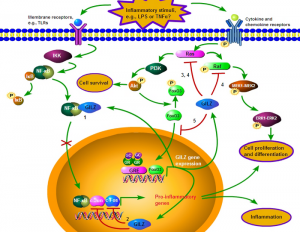 Figure 2. Effects of GILZ on immune signaling pathways. 1. GILZ is induced by GC/GR binding to GRE, and FoxO3 binding to FHRE sites in the GILZ gene promoter region. GILZ directly binds to NF-κB and prevents its nuclear translocation. 2. GILZ can directly bind to c-Jun and c-Fos, two constituents of AP-1, to inhibit their transcriptional activity. However, the location (cytoplasm or nucleus) of GILZ binding to AP-1 subunits is still unknown. 3. GILZ inhibits cell survival by blocking Ras activation and downstream PI3K/Akt signaling. 4. GILZ binds and inhibits Ras and Raf activation and thus inhibits downstream pathways such as MEK-1/2 and ERK-1/2. 5. GILZ also prevents nuclear translocation of FoxO3, constituting a negative feedback loop.