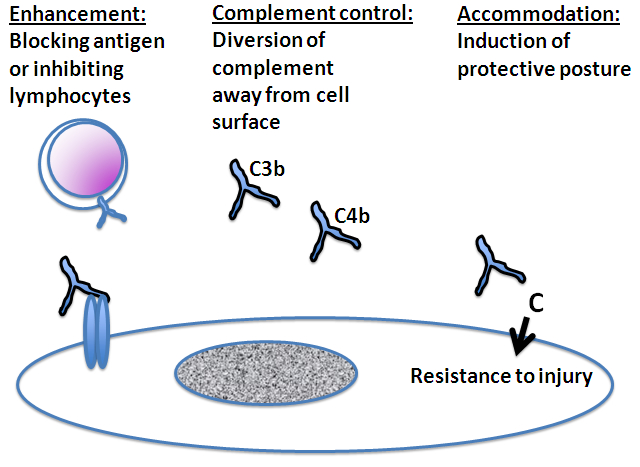Figure 2. Mechanisms of antibody-mediated protection. Besides causing injury to grafts, antibodies can protect grafts from injury.  The mechanisms of antibody mediated protection include enhancement, complement control, and accommodation.  In enhancement, antibodies bind to and block target antigens or interact with lymphocytes in ways that suppress lymphocyte functions.  In complement control, antibodies serve as alternative targets for activation of complement (C3b and C4b), thus diverting complement away from cell surfaces.  In accommodation, antibodies activate complement (C) on cell surfaces and in so doing change the biology of cells in ways that make the cells resist injury.