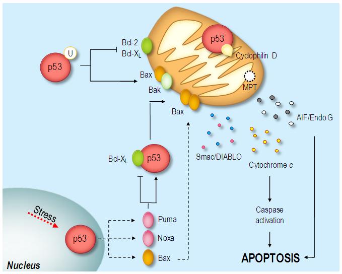 puma apoptosis