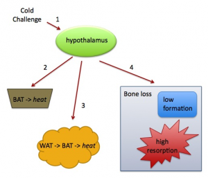 Figure 1. Influence of thermogenesis on bone remodeling. 1, Cold activates sympathetic output from the hypothalamus. Sympathetic nervous system activity stimulates heat production in 2, brown adipose tissue (BAT), and 3, white adipose tissue (WAT). A parallel sympathetic network activates heart rate and could alter bone remodeling (4). Impaired thermogenesis increases sympathetic activity, which could lead to bone loss.