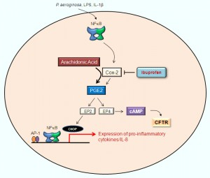 Figure 3. Cox-2 inhibition suppresses IL-8 levels and cAMP mediated CFTR activation. Pro-inflammatory stimuli (P. aeruginosa, IL-1β, or TNFα) increase the levels of PGE-2 via NFB–mediated Cox-2 induction, which results in induction of IL-8 through the CHOP (C/EBP homologous protein)  transcription factor. CHOP is activated via EP-2 (Prostaglandin E2 receptor)  in the PGE-2 (Prostaglandin E2)–signaling cascade. The broad-spectrum Cox inhibitor, ibuprofen, suppresses the PGE-2, IL-8, and cAMP levels. Inhibiting Cox-2 may control IL-8 mediated inflammation but it may further deteriorate the CF pathophysiology due to inefficient cAMP-mediated CFTR activation. Use of other Cox-2 inhibitors like curcumin may create a similar scenario that can exacerbate the lung inflammation and obstruction in CF and other chronic obstructive lung diseases like COPD.