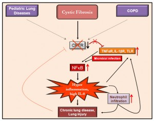Figure 4.  Role of CFTR in innate immune response in CF and other chronic obstructive lung diseases. Decrease in the functional CFTR protein on the cell membrane and lipid-rafts in CF leads to an enhanced NFB activation via abrogation of the inhibitory effect on the membrane receptor signaling complexes that triggers the pro-inflammatory cascade. Microbial infection adds up to the NFB activation, thus further exacerbating the IL-8-neutrophil induced lung pathology. The activated neutrophils result in further induction of pro-inflammatory signaling (TLR, IL-1β, or TNFα) and the lack of CFTR mediated regulatory mechanism creates a cycle of inflammation that leads to pathogenesis of chronic CF lung disease. Severe lung injury again down-regulates the expression of CFTR that contributes to the maintenance of the hyper-inflammatory state. Elucidating the precise cellular mechanisms that contribute to this chronic cycle of inflammation will help develop better drug candidates to halt the progression and persistence of lung damage in CF and other chronic inflammatory lung diseases.