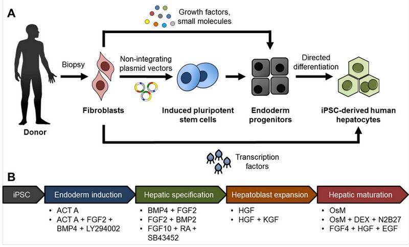 Stem Cell Derived Liver Cells For Drug Testing And Disease Modeling