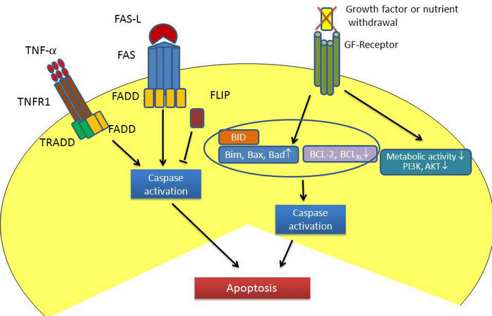 Figure 1  T cell apoptosis  Activation of FAS/FASL or TNF