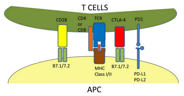 Figure 2  T cell-APC interaction and costimulatory molecules