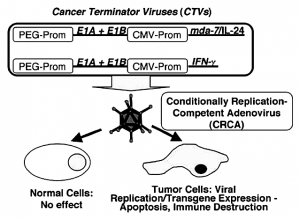 Figure 1. Schematic representation of cancer terminator viruses (CTVs). In the CTVs the PEG-Prom drives the expression of E1A and E1B genes thus ensuring cancer-specific replication while the CMV-Prom regulates the expression of either mda-7/IL-24 or IFNγ in the E3 region of the Ad. These conditionally replication competent adenoviruses (CRCA) do not harm normal cells but induce oncolysis by Ad replication and diverse tumor-suppressor effects of the expressed transgene. (Reproduced with permission of the publisher, from Sarkar et al., 2005).