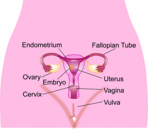Figure 1. Anatomy of the female reproductive tract.