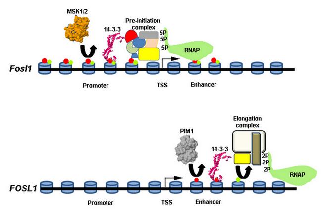 Transcriptional Gene Expression Gene Expression Regulation
